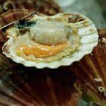 Image Coquille saint jacques décortiquées sur fond blanc-La pêche du jour de Coquille saint jacques décortiquées-thumbnail